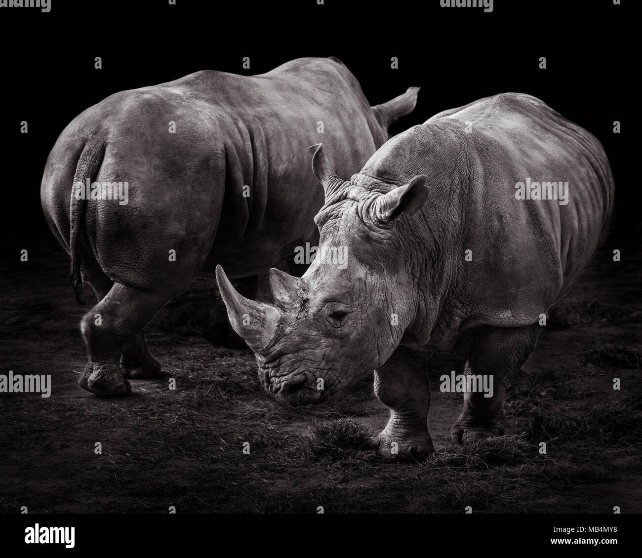 A Pair of Rhinos Against a Black Background - Stock Image