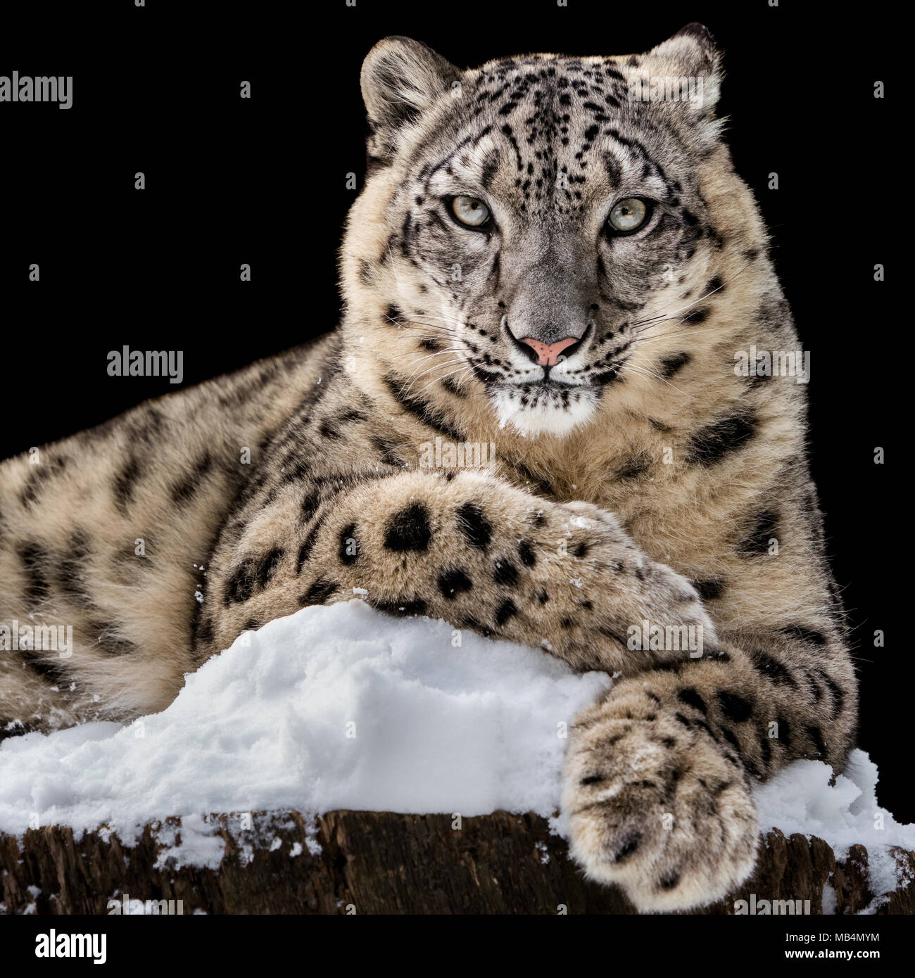 Frontal Portrait of Snow Leopard Against Black Background - Stock Image
