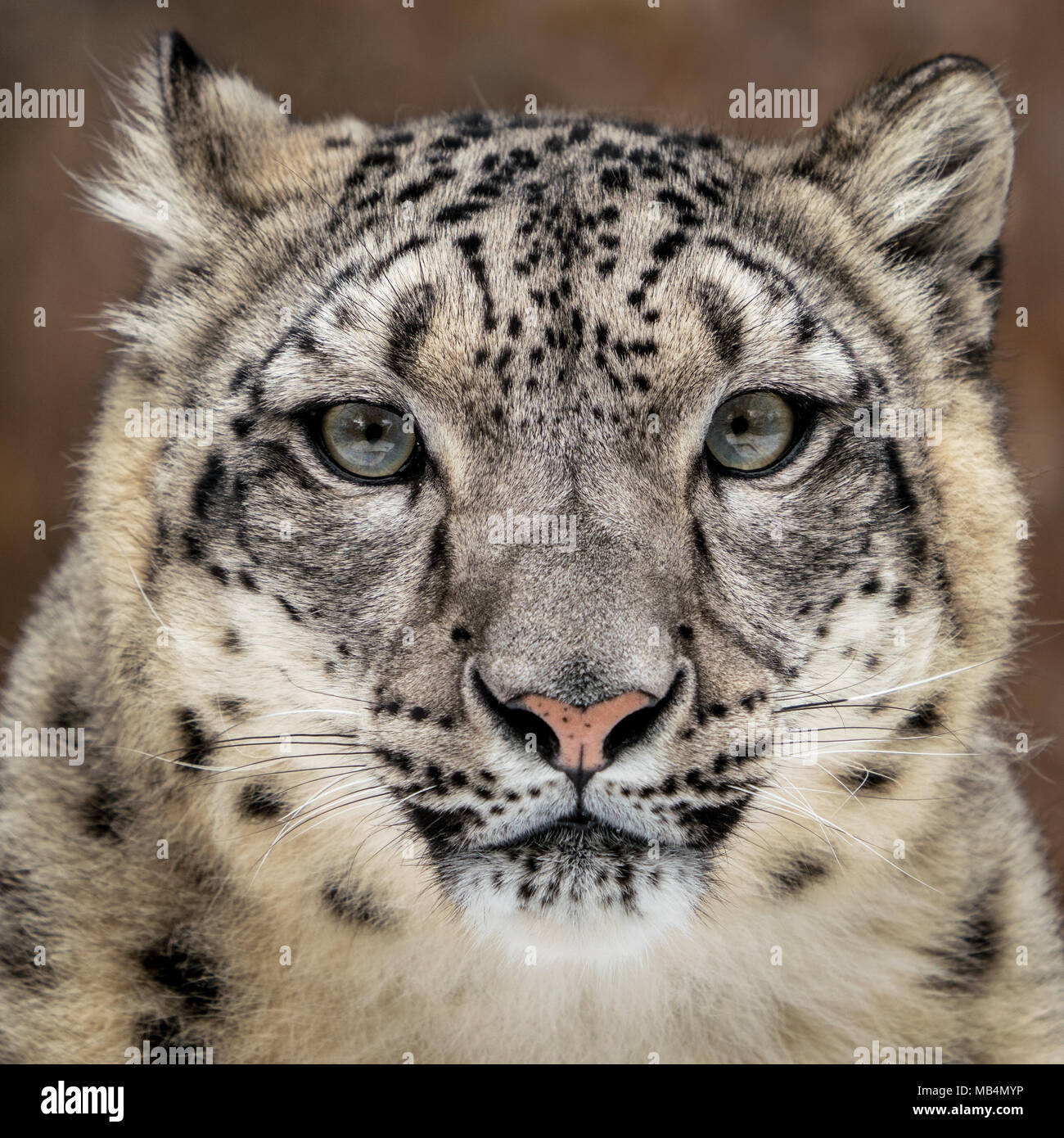 Frontal Portrait of Snow Leopard Against Coloful Background - Stock Image
