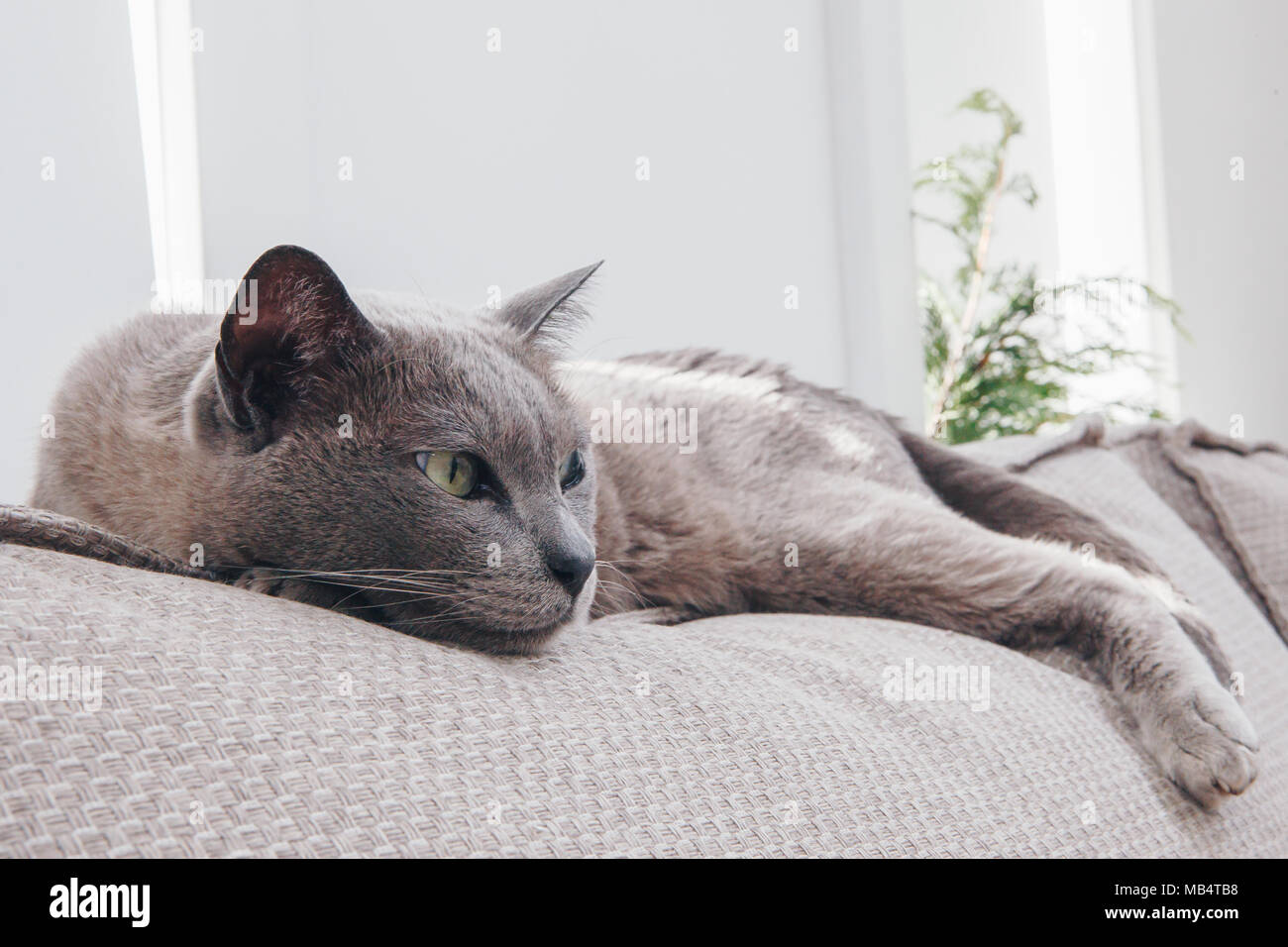 Grey burmese cat lying on a couch - Stock Image
