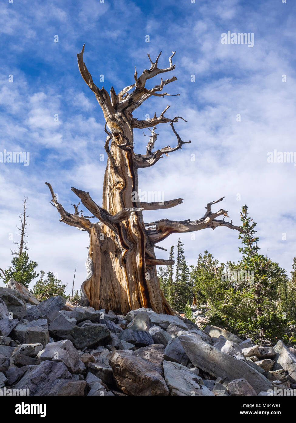 Bristlecone Pine In The Wheeler Peak Grove At Great Basin National Park Near Baker Nevada Stock Photo Alamy