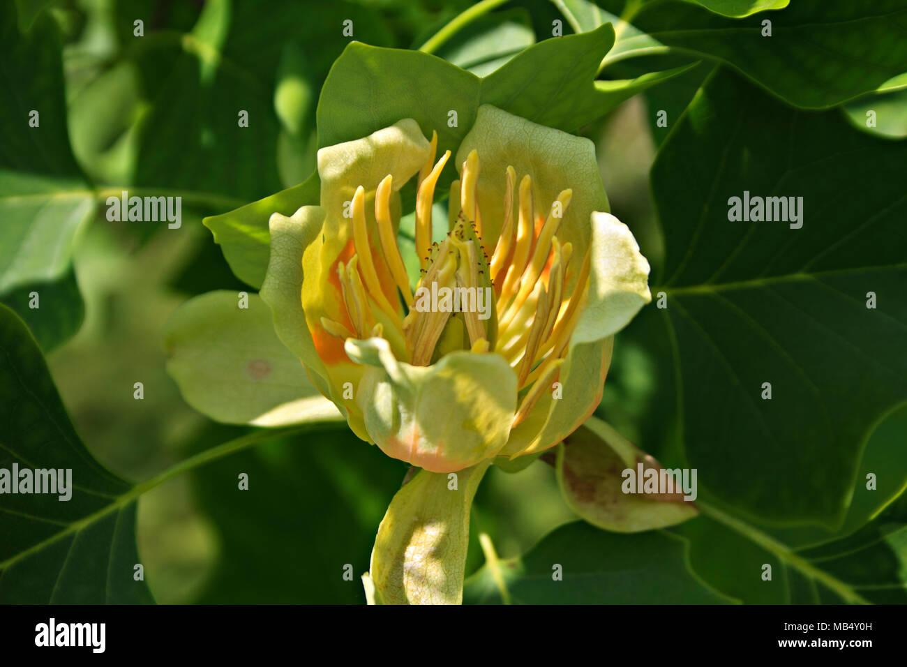 Tulip Poplar Stock Photos & Tulip Poplar Stock Images - Alamy