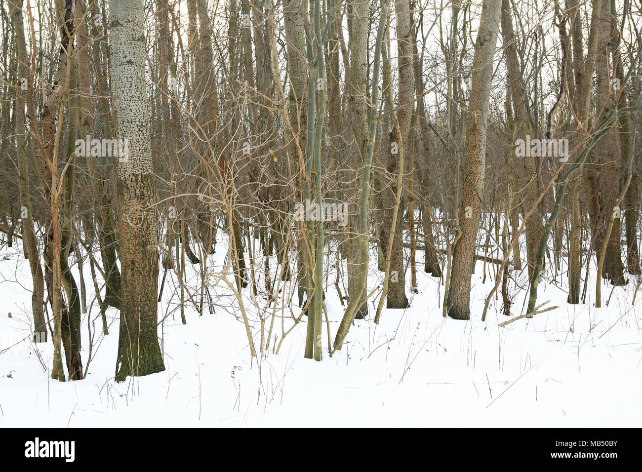 Leafless bare trees in the snow - Stock Image