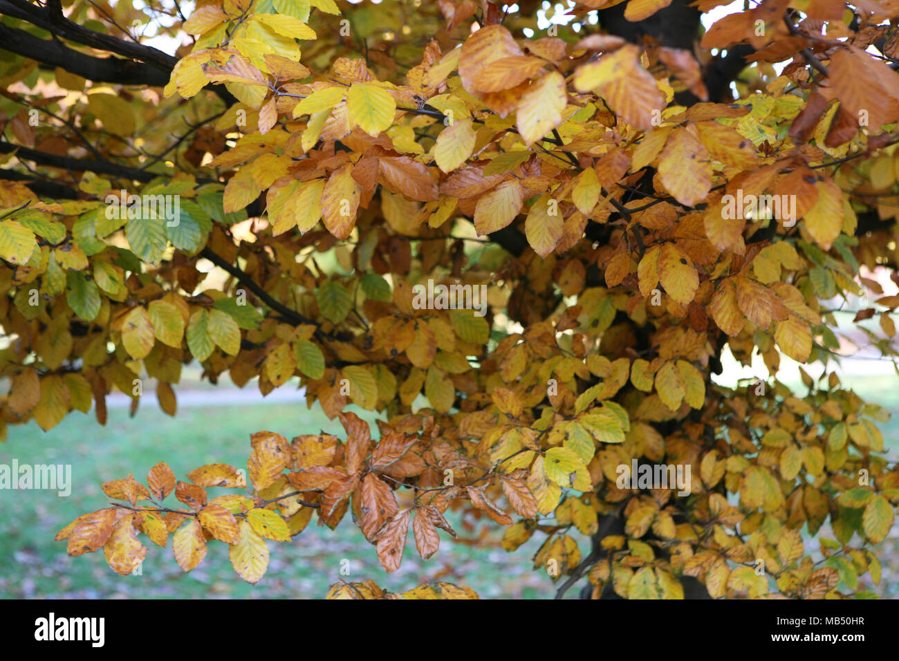 Yellow brown leaves on the autumn fall tree - Stock Image