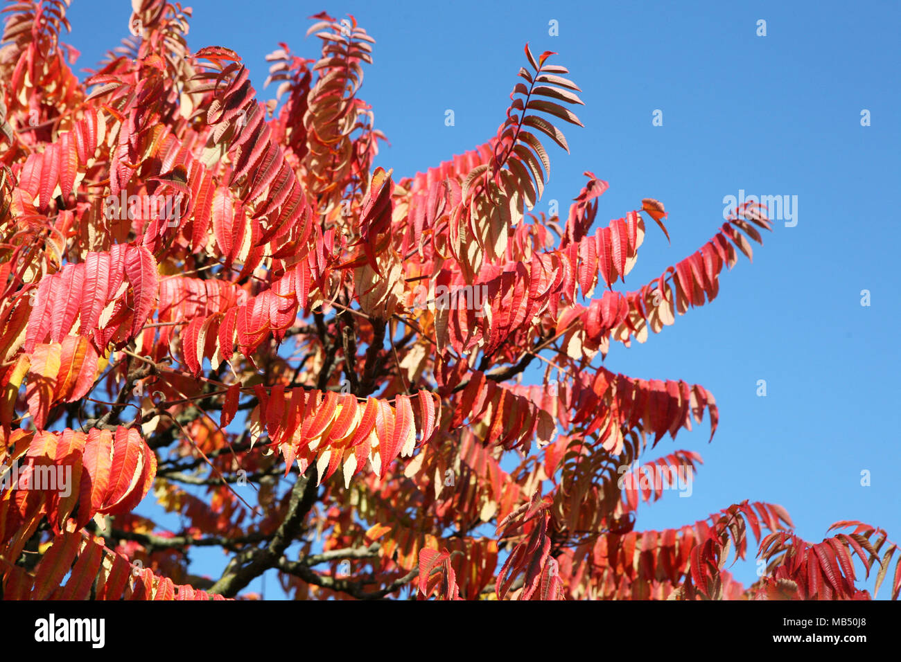 Red leaves branch in a blue sky - Stock Image