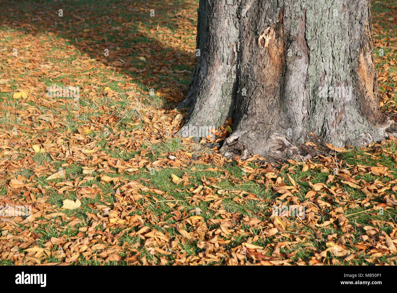Tree trunk base in yellow brown leaves field - Stock Image