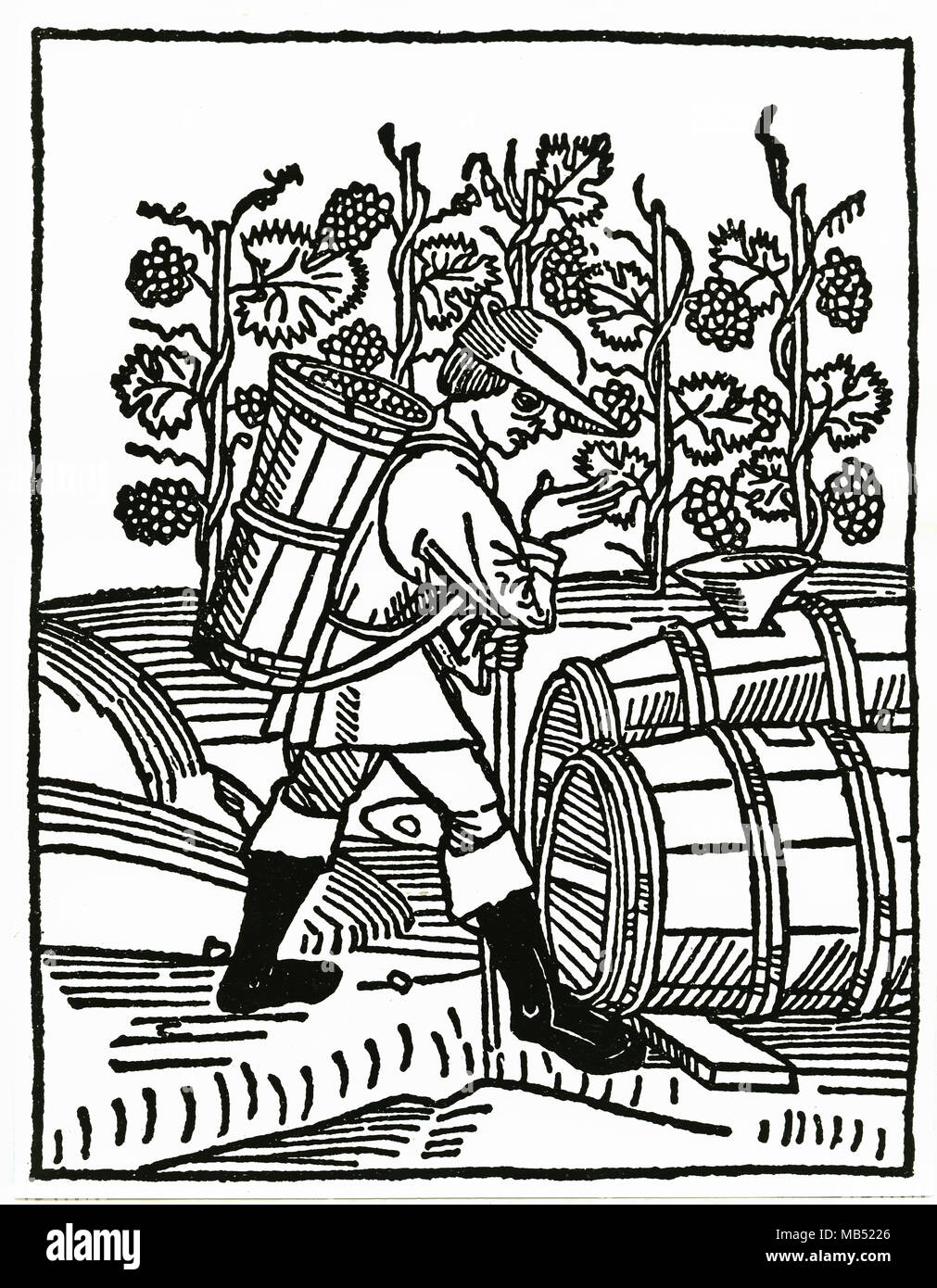 Grape grape harvest, medieval times, woodcut - Stock Image