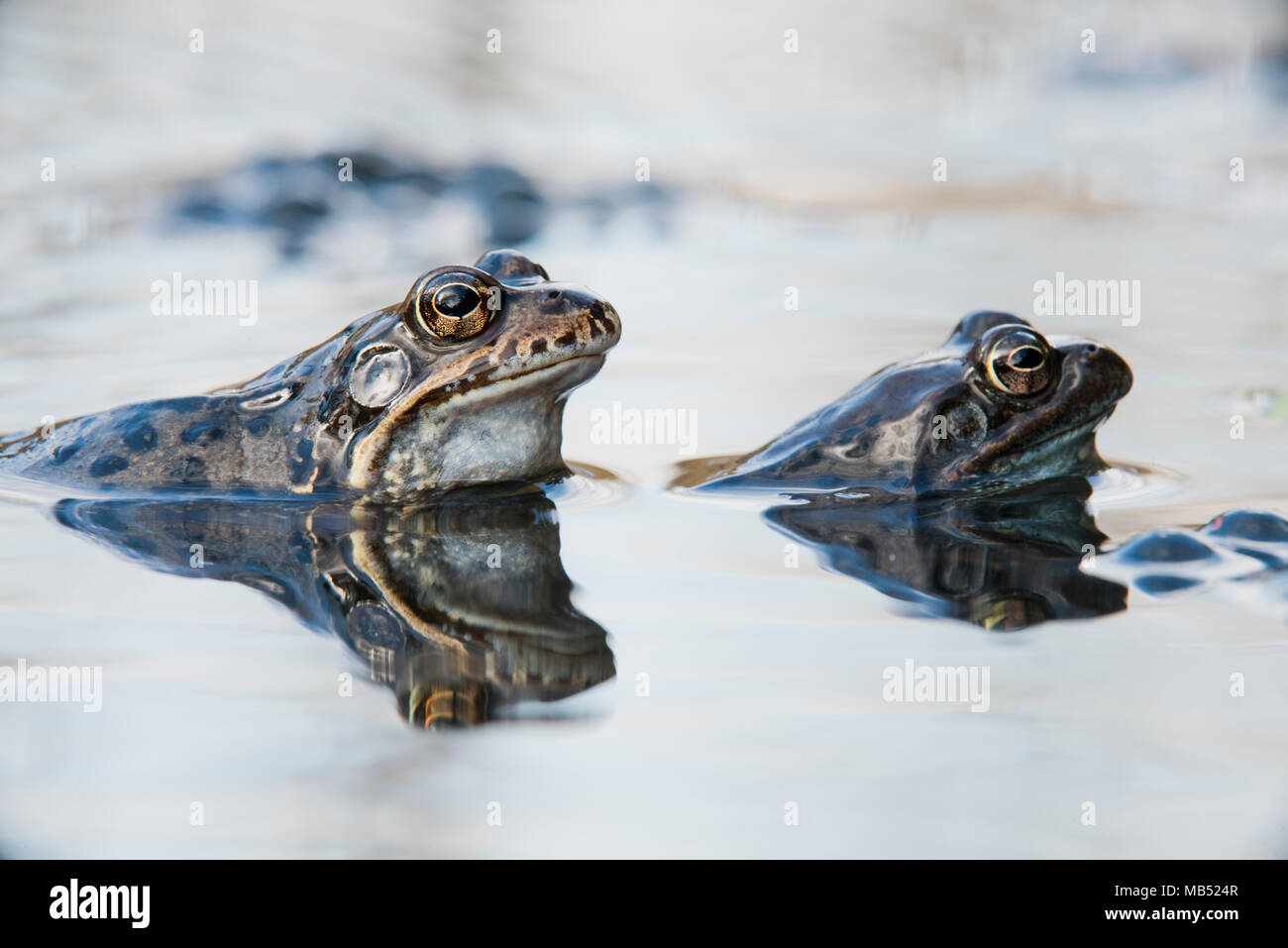 Common frogs (Rana temporaria) spawning, Emsland, Lower Saxony, Germany - Stock Image