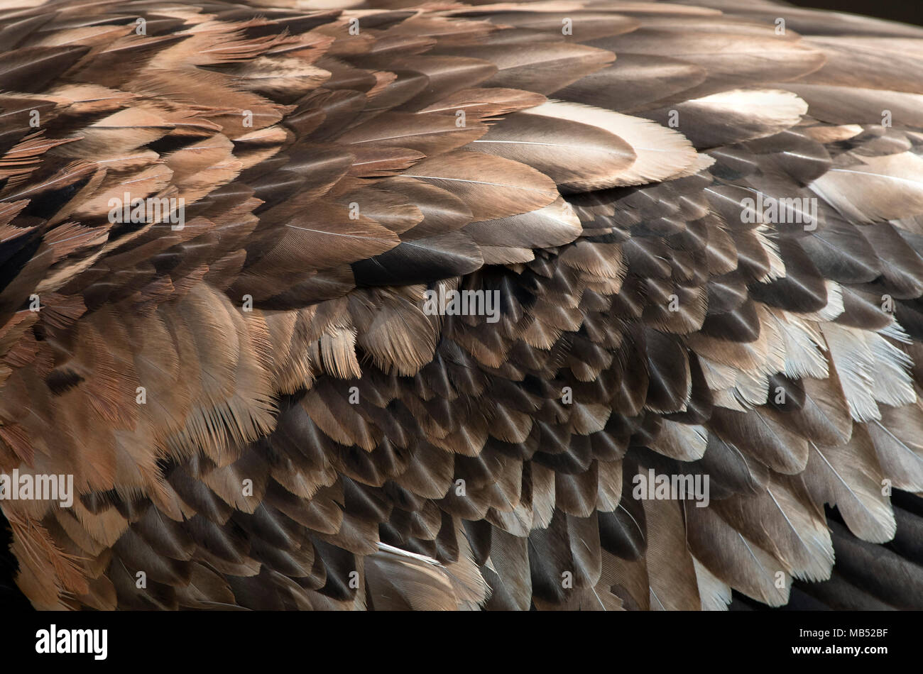 Plumage of Bearded vulture (Gypaetus barbatus), detail, Tyrol, Austria - Stock Image