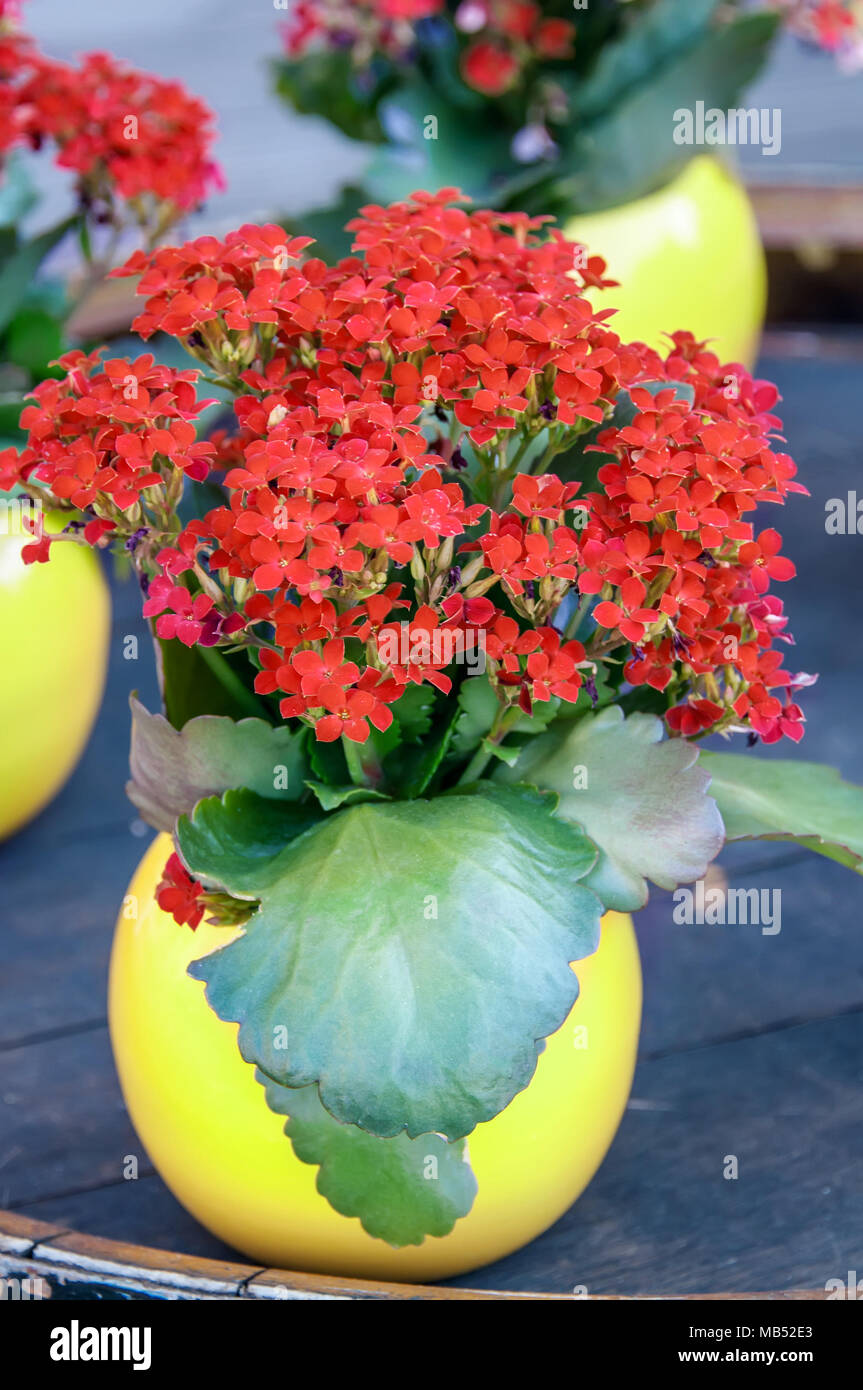 Red kalanchoe plant with small flowers in a round yellow vase on the red kalanchoe plant with small flowers in a round yellow vase on the table close up the vertical frame mightylinksfo