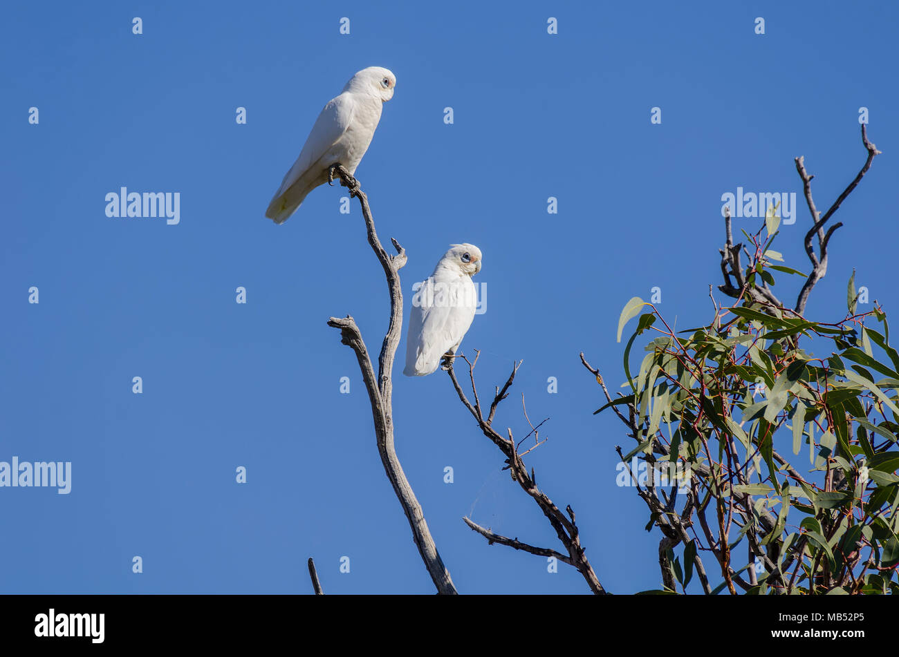 little corellas, birdsville, queensland, australia - Stock Image