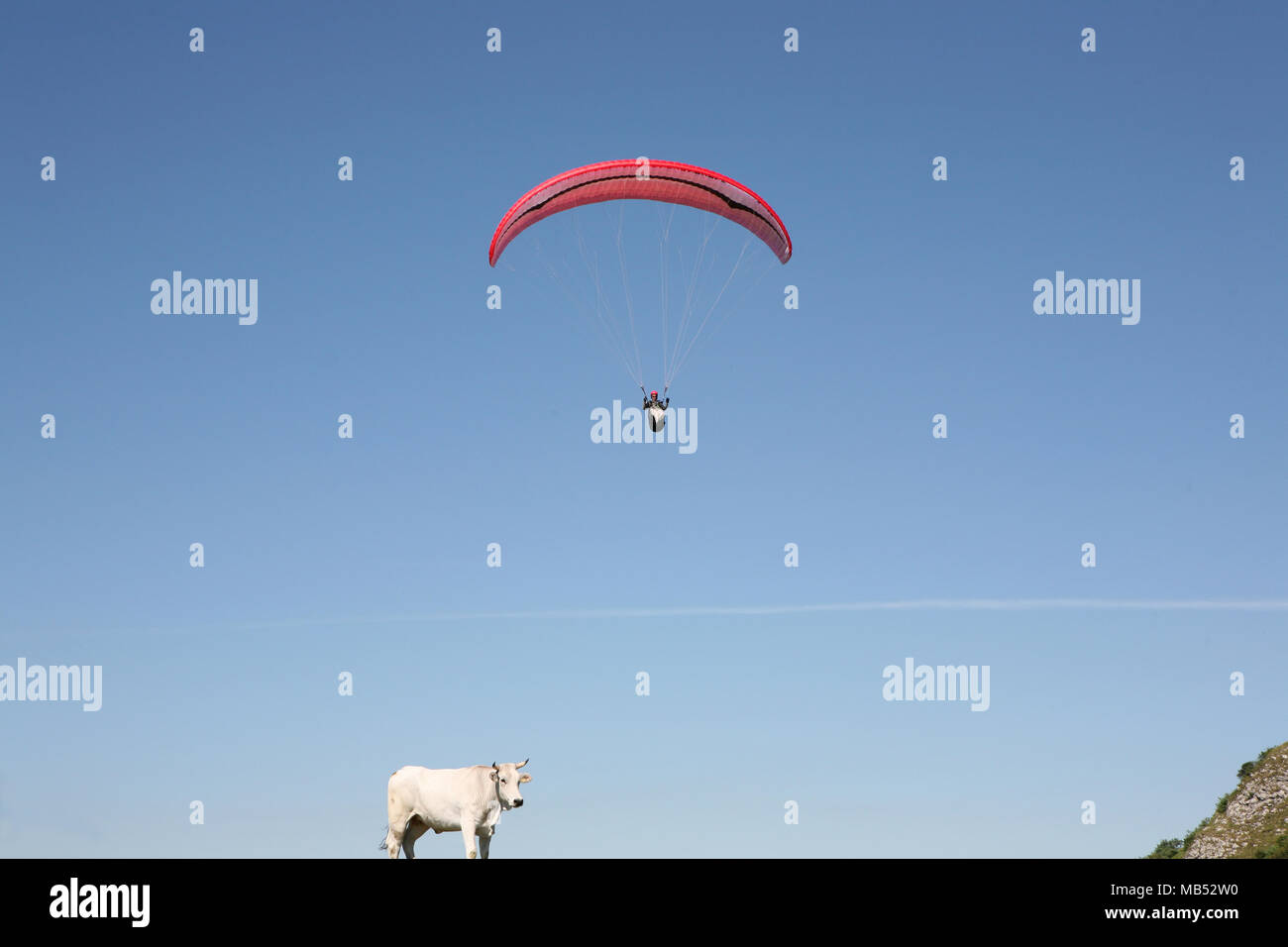 Hang glider and bovine - Stock Image