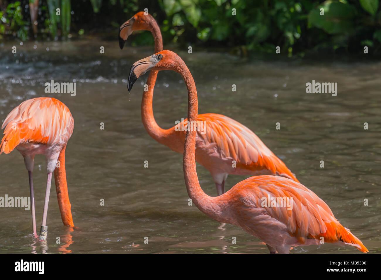 American or Caribbean flamingo, Jurong bird park, singapore Stock Photo