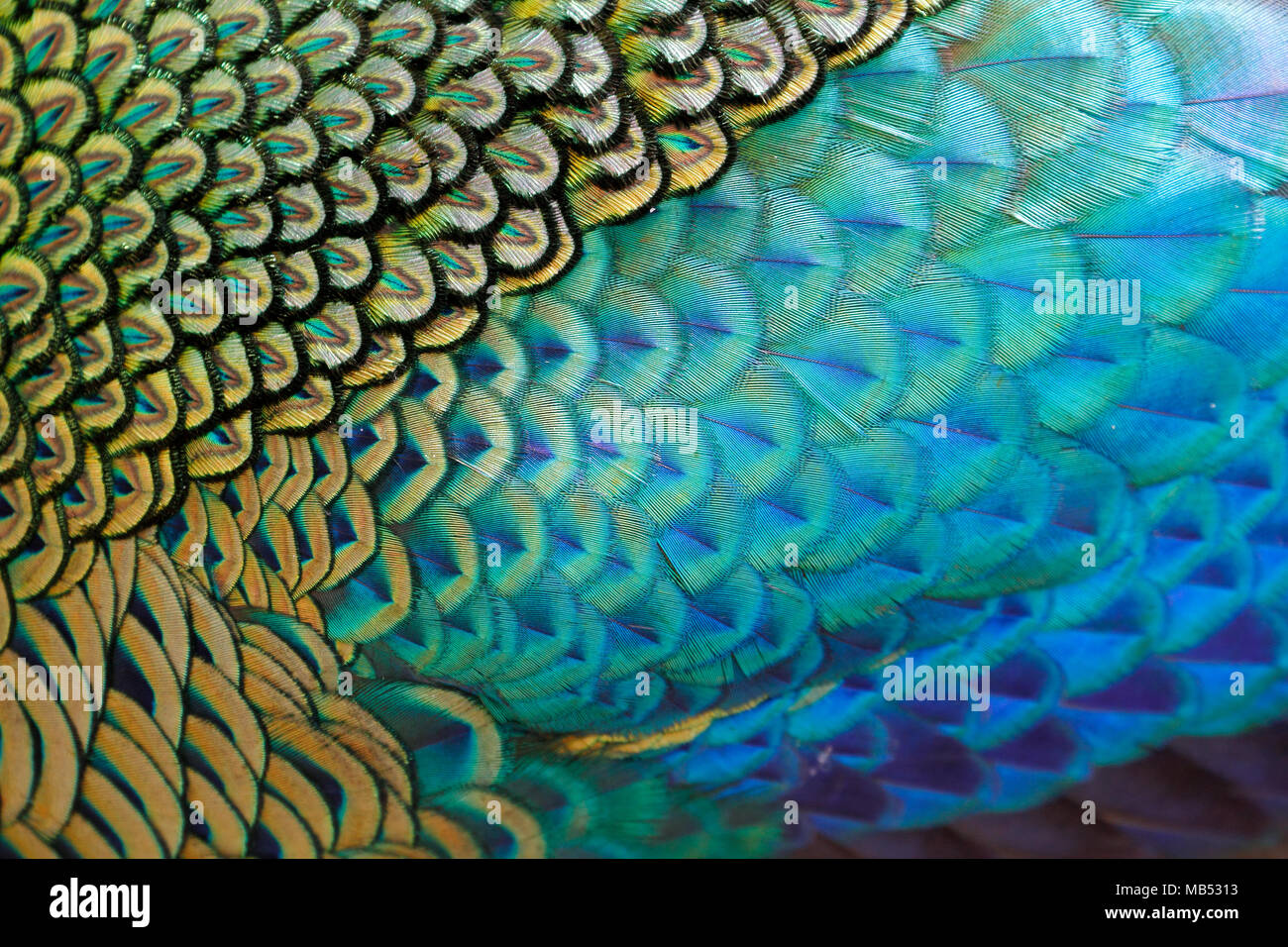 Beautiful feathers of male green peafowl / peacock (Pavo muticus) (shallow dof) - Stock Image