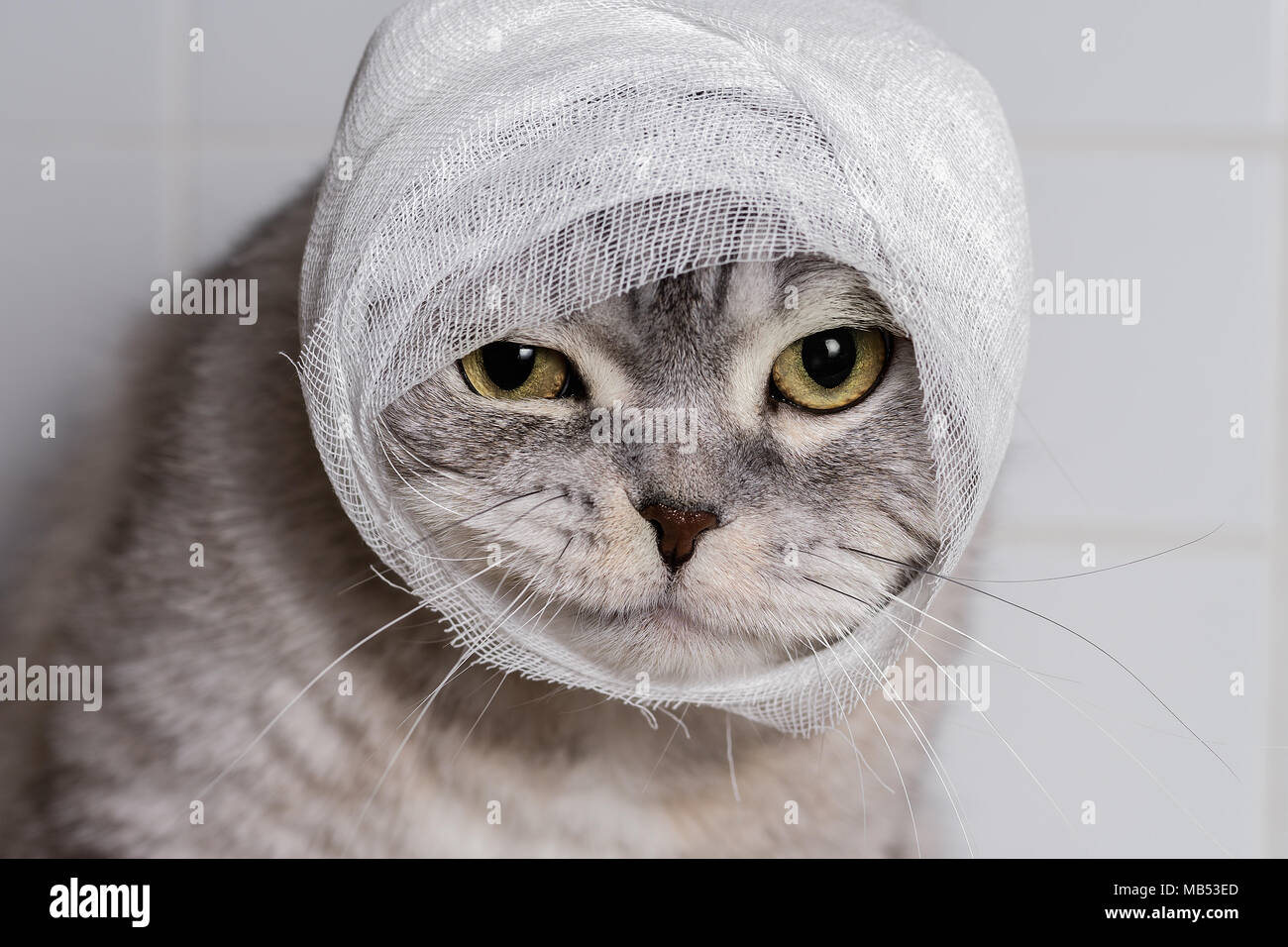 Domestic Cat With Bandage High Resolution Stock Photography and Images -  Alamy