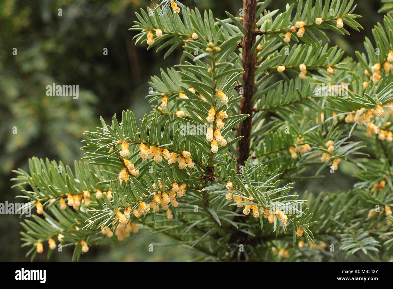 yellow male flowers of european yew - Taxus baccata - Stock Image