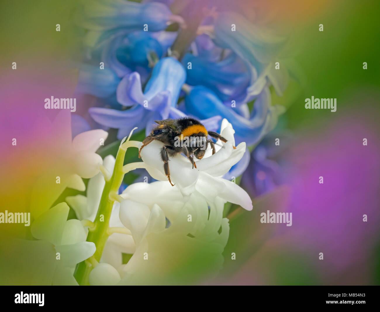 Bumblebee Bombus terrestris Spring Norfolk - Stock Image
