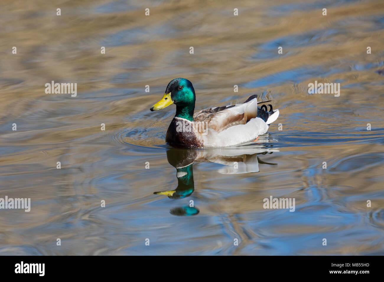 swimming natural male mallard duck (anas platyrhynchos), water, reflections - Stock Image