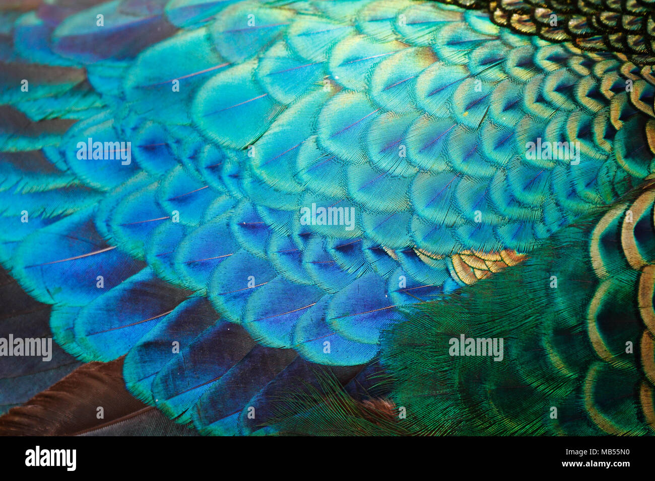 Feathers detail of male green peafowl / peacock (Pavo muticus) (shallow dof) - Stock Image