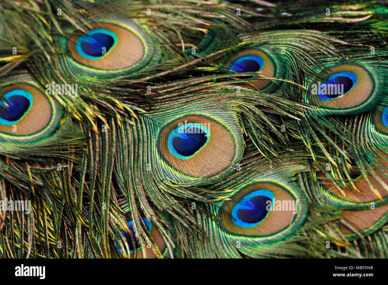 Green peafowl / peacock (Pavo muticus) tail feathers background - Stock Image