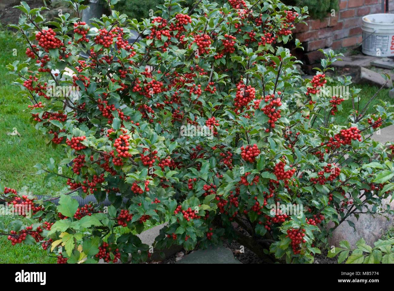 Red, bright, Canadian winter berries in a bundle. - Stock Image