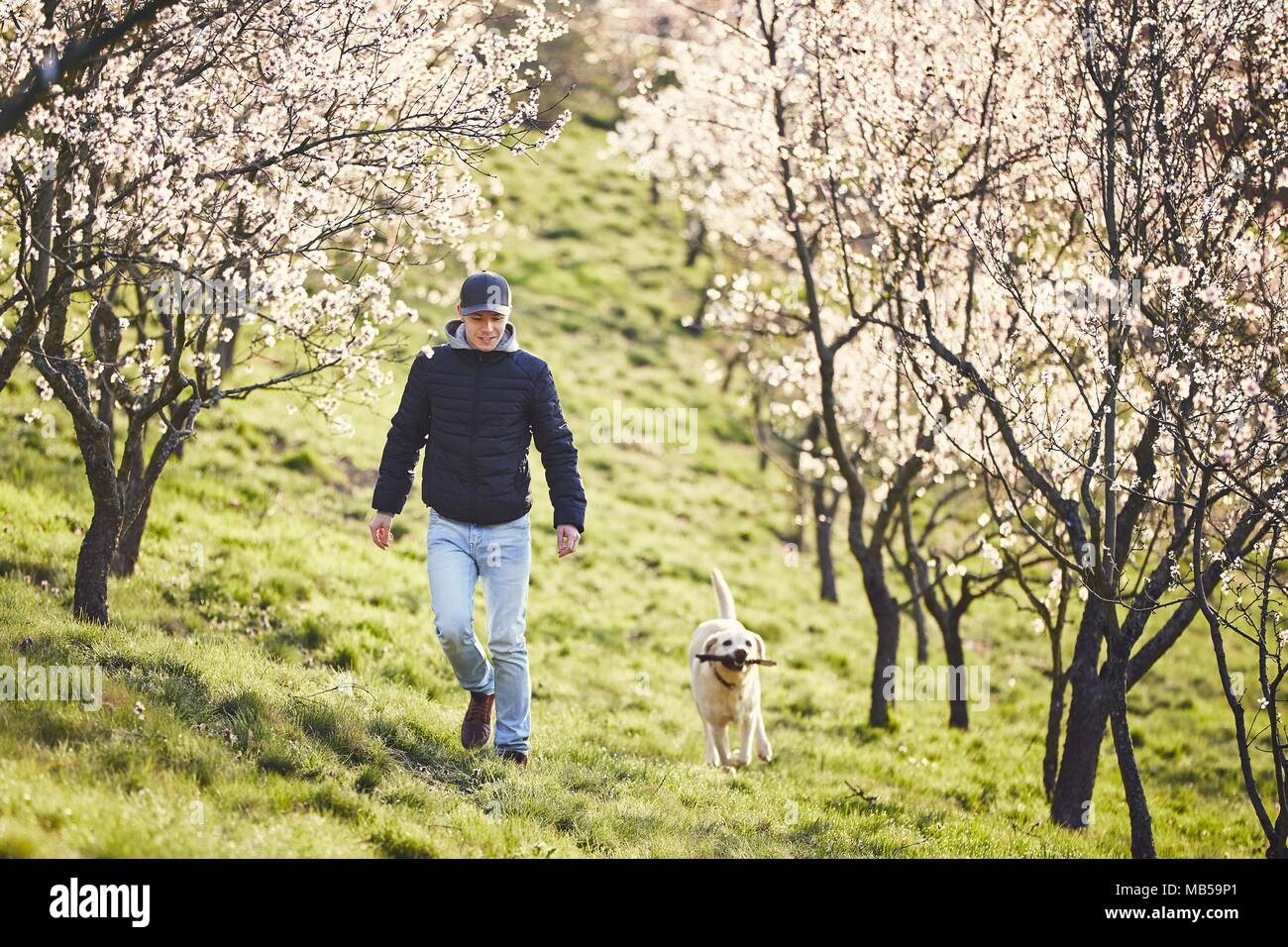 Morning in spring nature. Man with his dog (labrador retriever) walking between blooming trees. - Stock Image