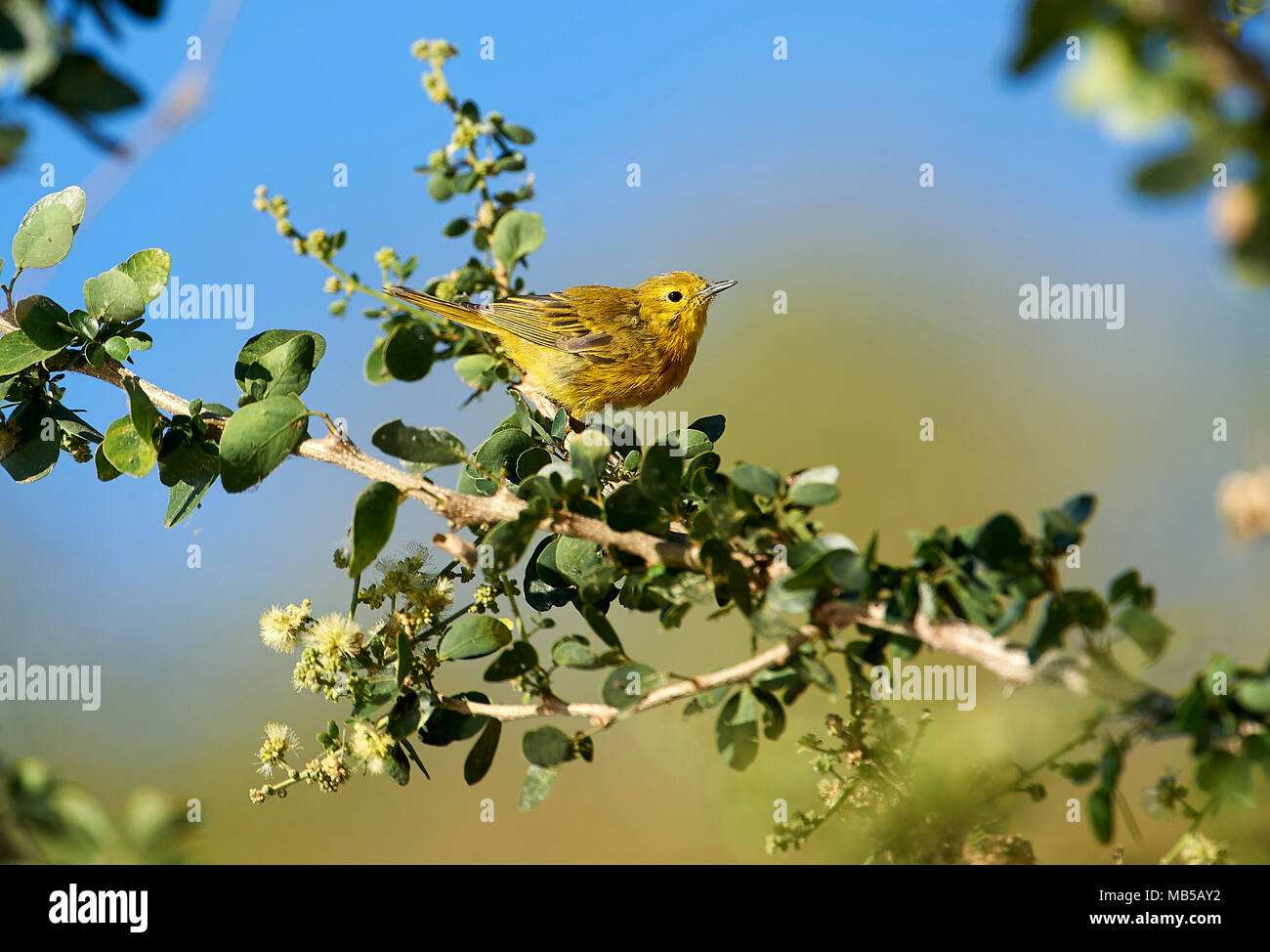 American Yellow Warbler (Dendroica petechia) perched in a tree, Jocotopec, Jalisco, Mexico - Stock Image