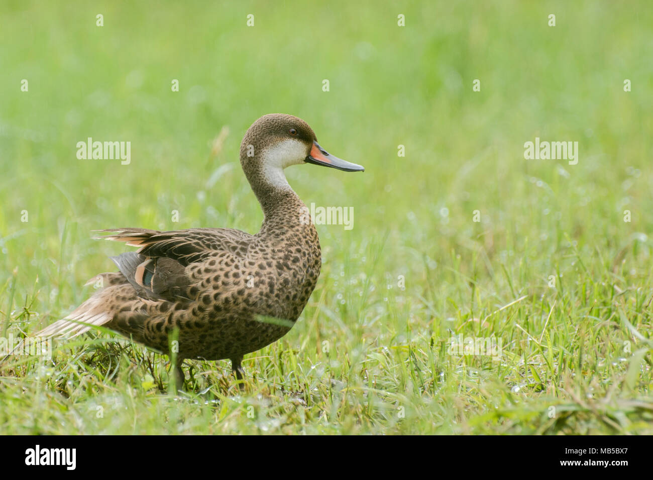 The Galapagos Pintail Duck Is An Endemic Subspecies That Is