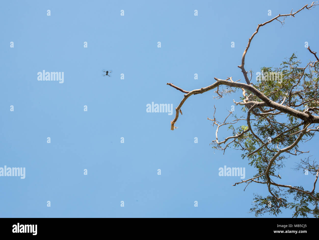 Low angle view of drone in a clear blue sky with branches in Darwin, Australia - Stock Image