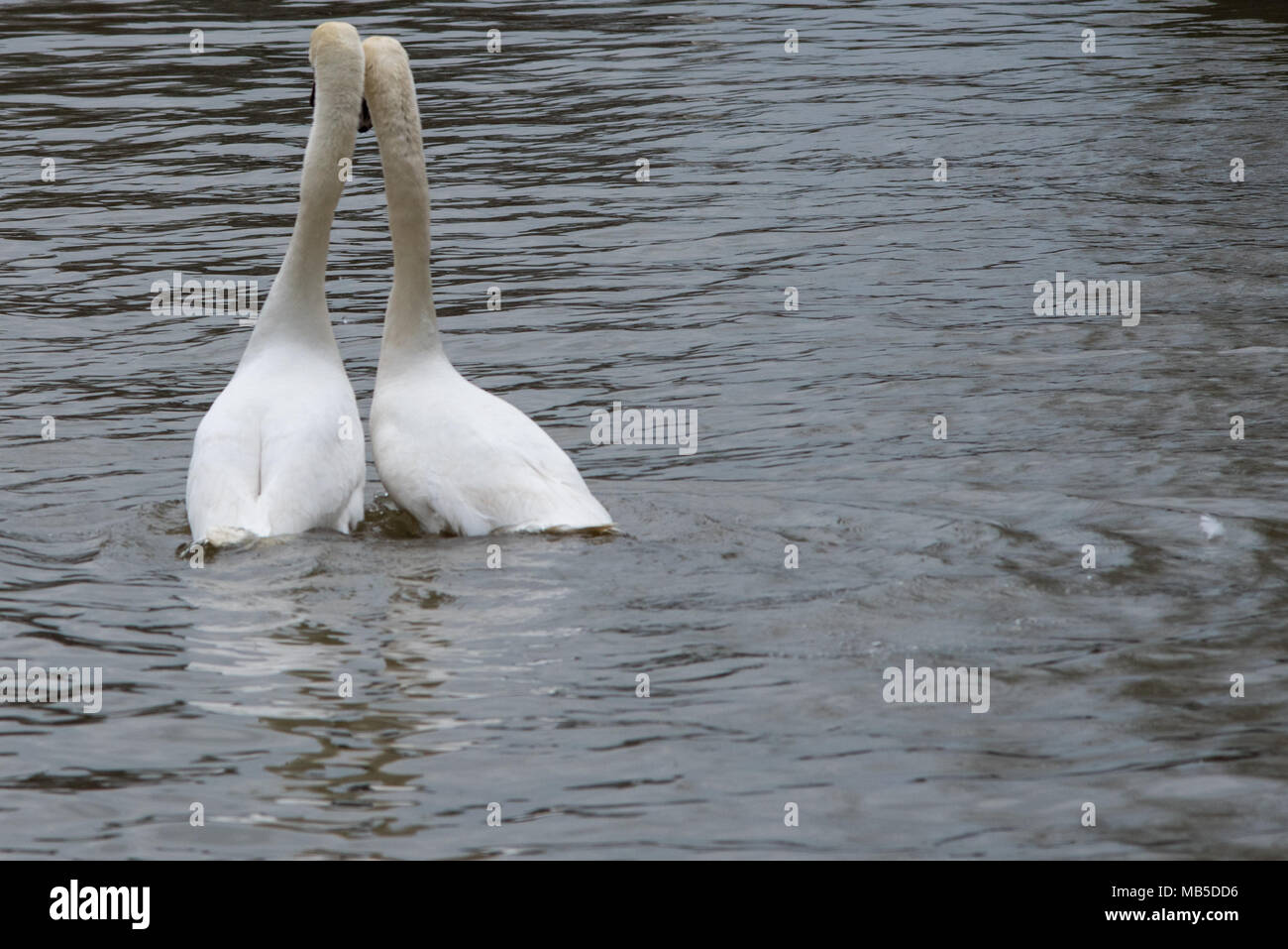 pair of mute swans dancing on river with head and necks together Stock Photo