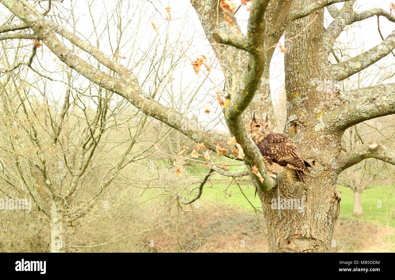 Hand Reared medium sized Long Eared African Owl sitting in a tree in the East Sussex countryside. East Sussex. Britain. - Stock Image