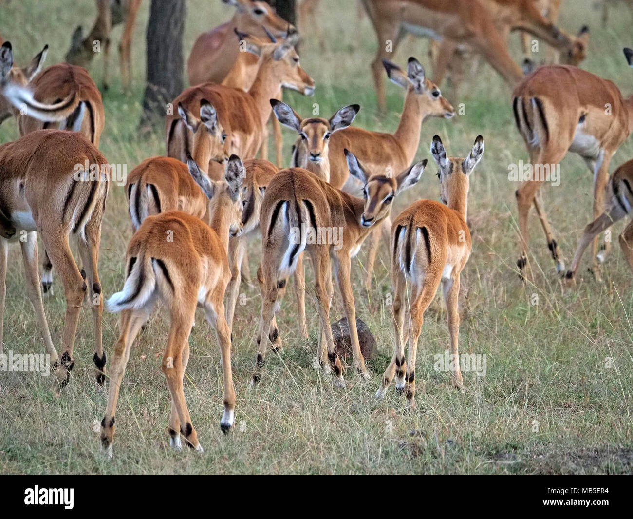 herd or harem of female impala (Aepyceros melampus) signal by wagging their tails together in Greater Mara,Kenya,Africa - Stock Image