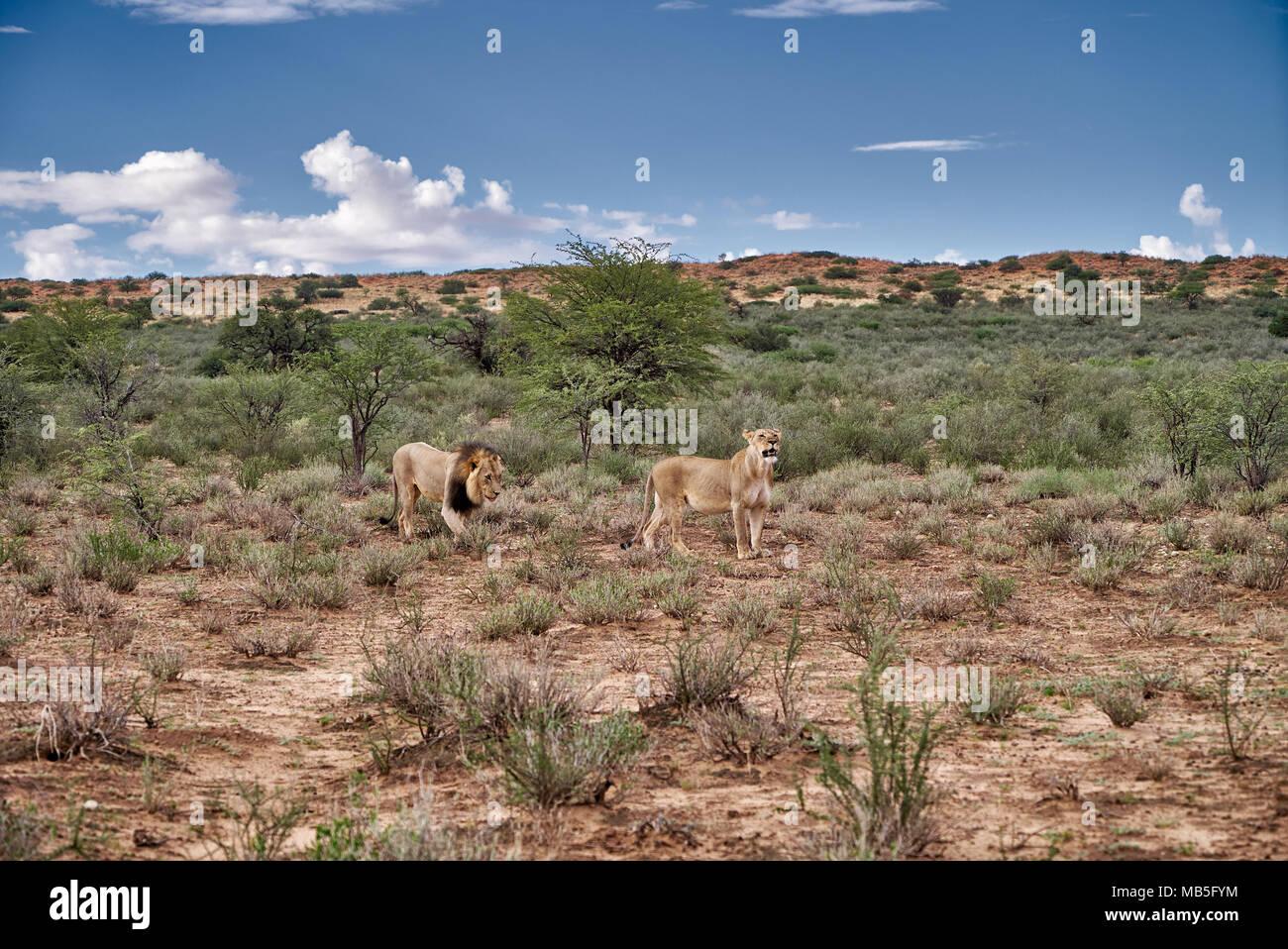 lion couple, Panthera leo, roaming through landscape of the Kalahari,, Kgalagadi Transfrontier Park, South Africa, Africa - Stock Image