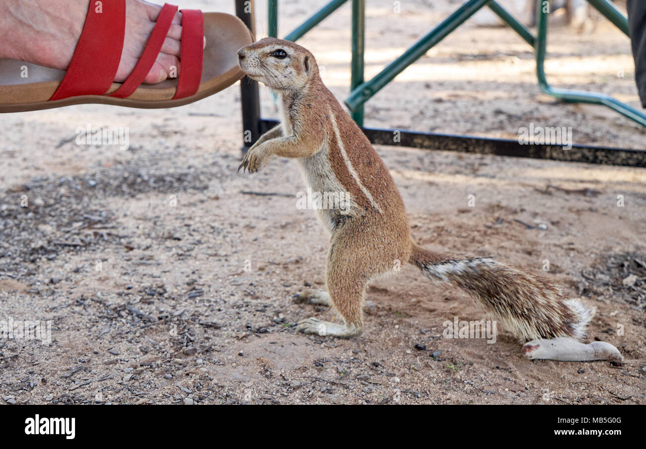 Cape ground squirrel, Xerus inauris, on the foot of a tourist, Kgalagadi Transfrontier Park, South Africa, Africa - Stock Image