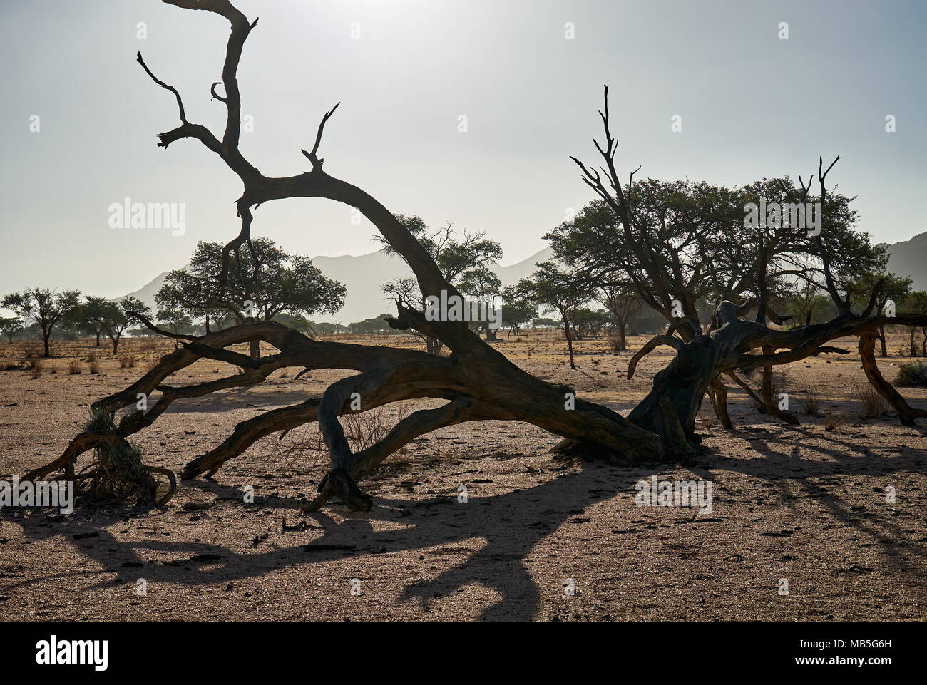 dead tree in tranquil landscape on Farm Namtib, Tiras mountains, Namibia, Africa - Stock Image