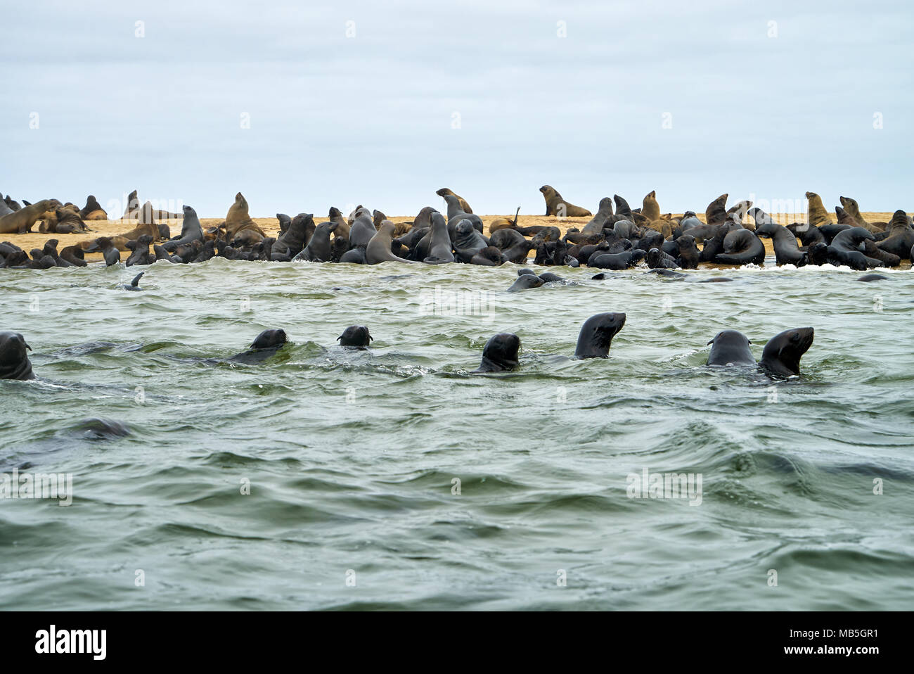 colony of Brown fur seals, Arctocephalus pusillus, Walvis Bay, Namibia, Africa - Stock Image