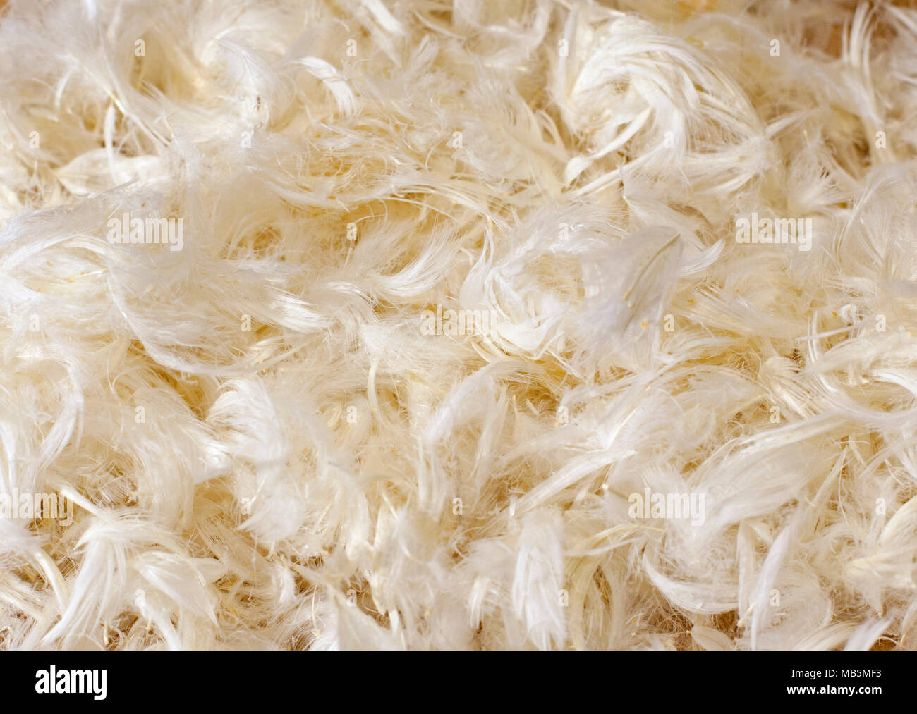 Still life of a soft, fluffy pile of Goose down feathers - Stock Image