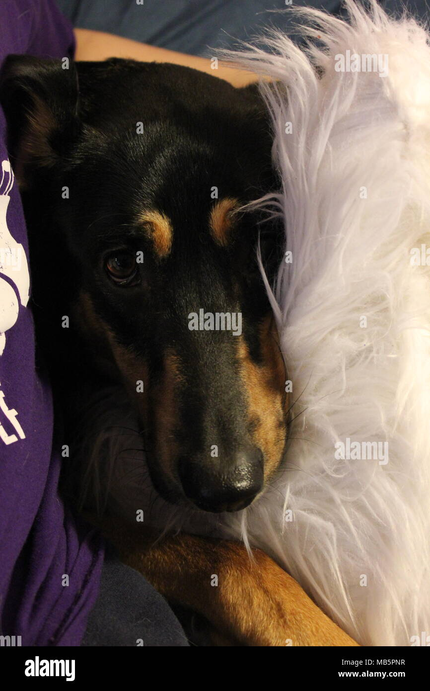 Shy black and tan hound dog hiding behind a white pillow. - Stock Image
