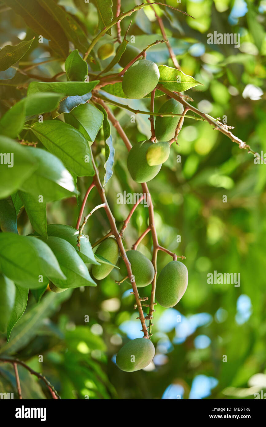 Clean green mangoes fruits hang on colorful tree branch on sunny ...