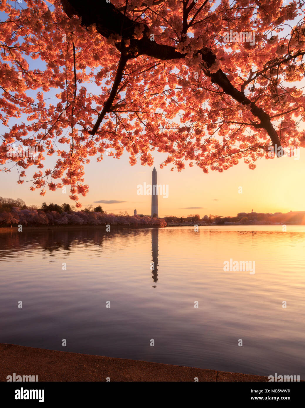 Sunrise at the tidal basin during the cherry blossom bloom - Stock Image