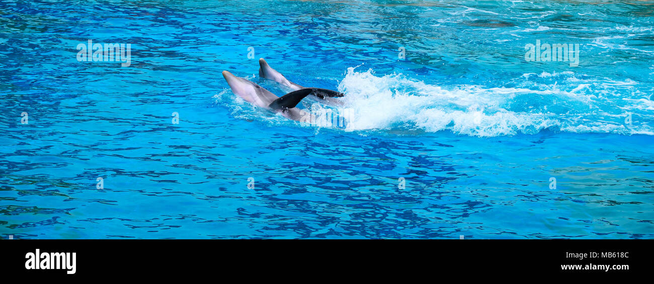 Common bottlenose dolphins, known also as Atlantic bottlenose dolphin or Bottle-Nosed Dolphin, Tursiops truncatus, in a zoological garden - Stock Image