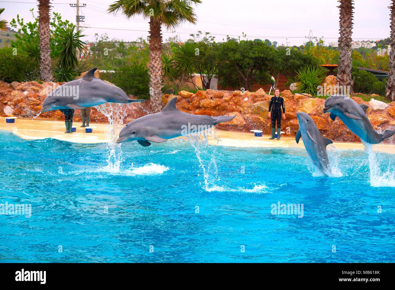 Athens, Attica / Greece - 2018/03/31: Common bottlenose dolphins, known as Atlantic bottlenose dolphin or Bottle-Nosed Dolphin, during a sea life show - Stock Image