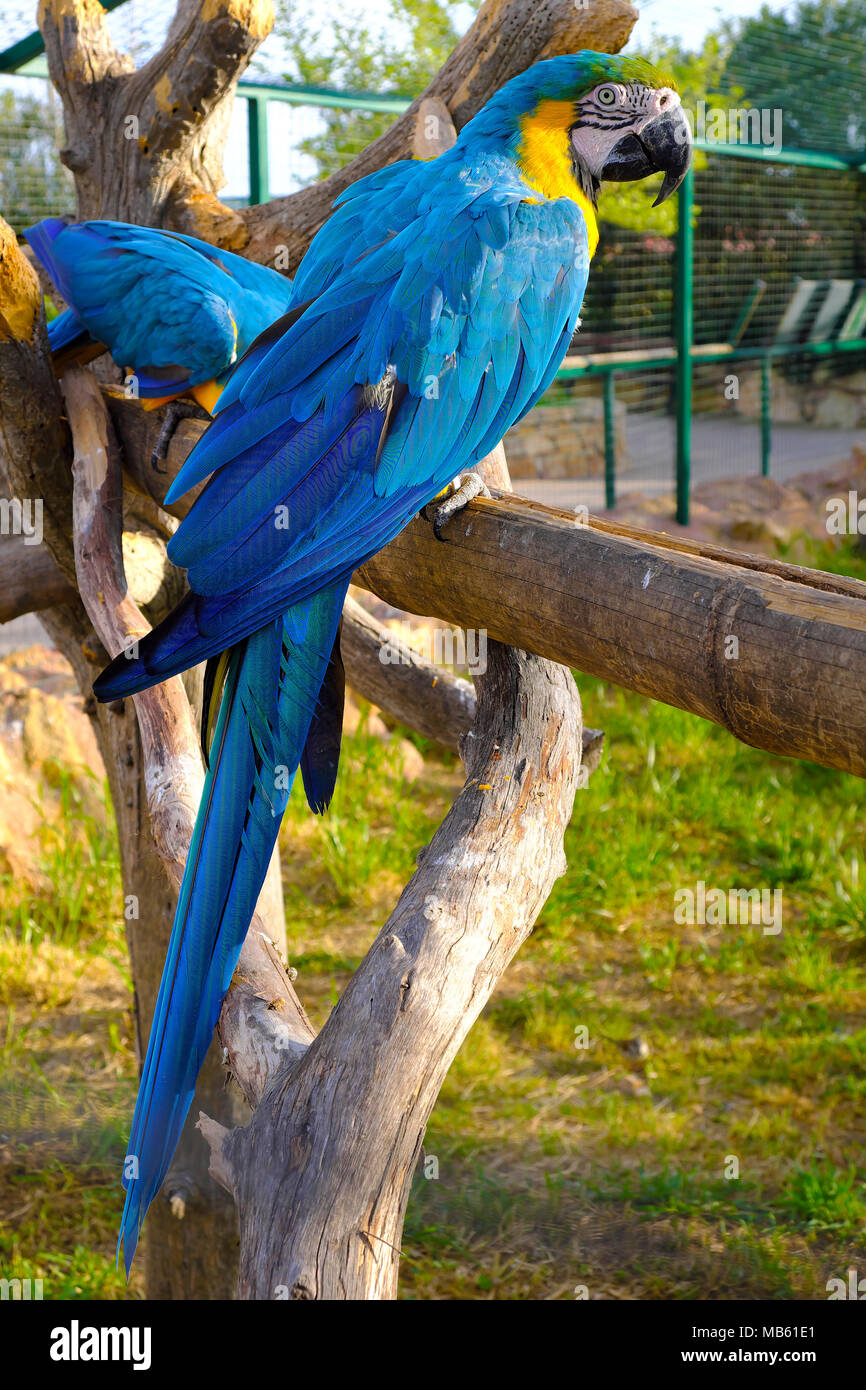 Pair of Blue-and-yellow macaw parrot birds, known also as Blue-and-gold macaw, Ara ararauna, in a zoological garden Stock Photo