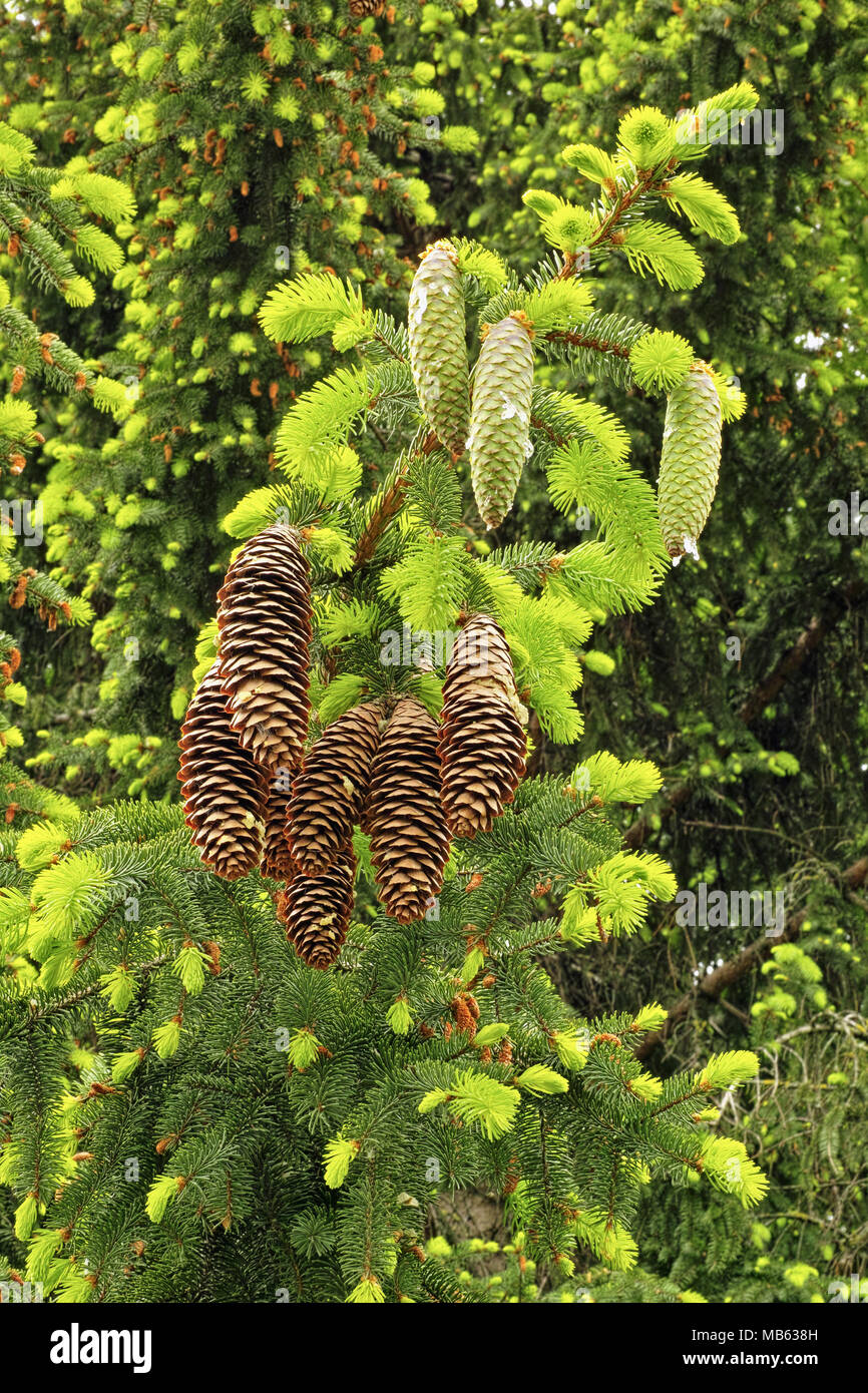 young and old cones and leaves of norway spruce - Stock Image
