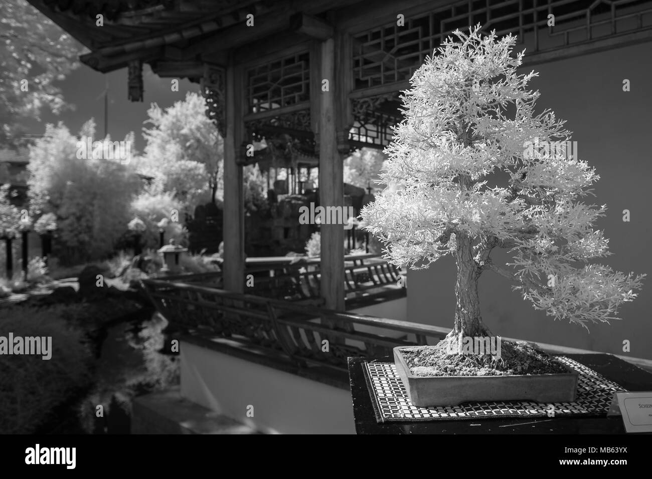 Conifer as bonsai tree in black and white infrared with blurred background - Stock Image