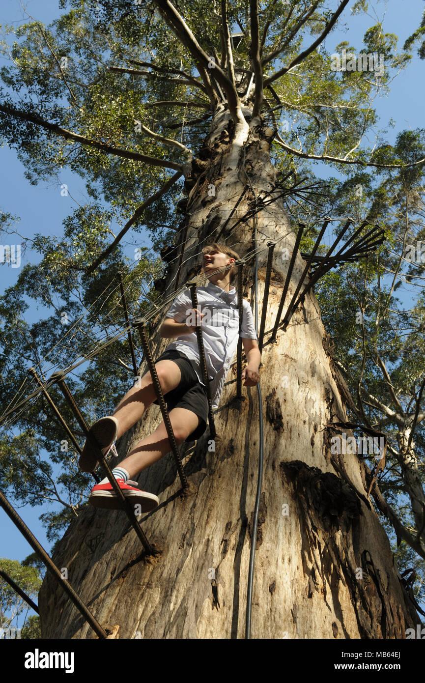 Teenager climbing the 53 metre tall Gloucester Tree, Pemberton, Western Australia Stock Photo