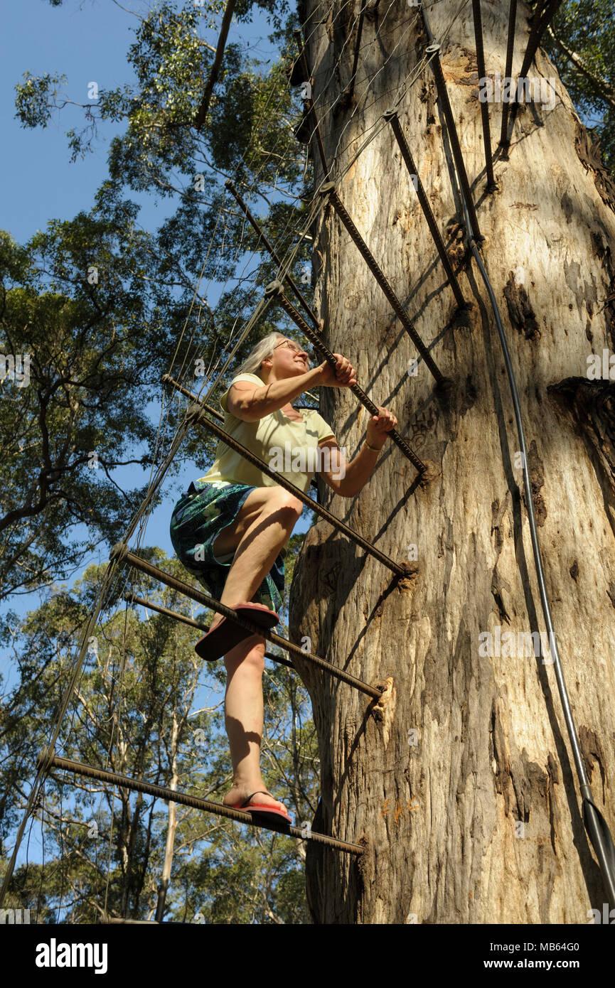Woman climbing the 53 metre tall Gloucester Tree, Pemberton, Western Australia Stock Photo