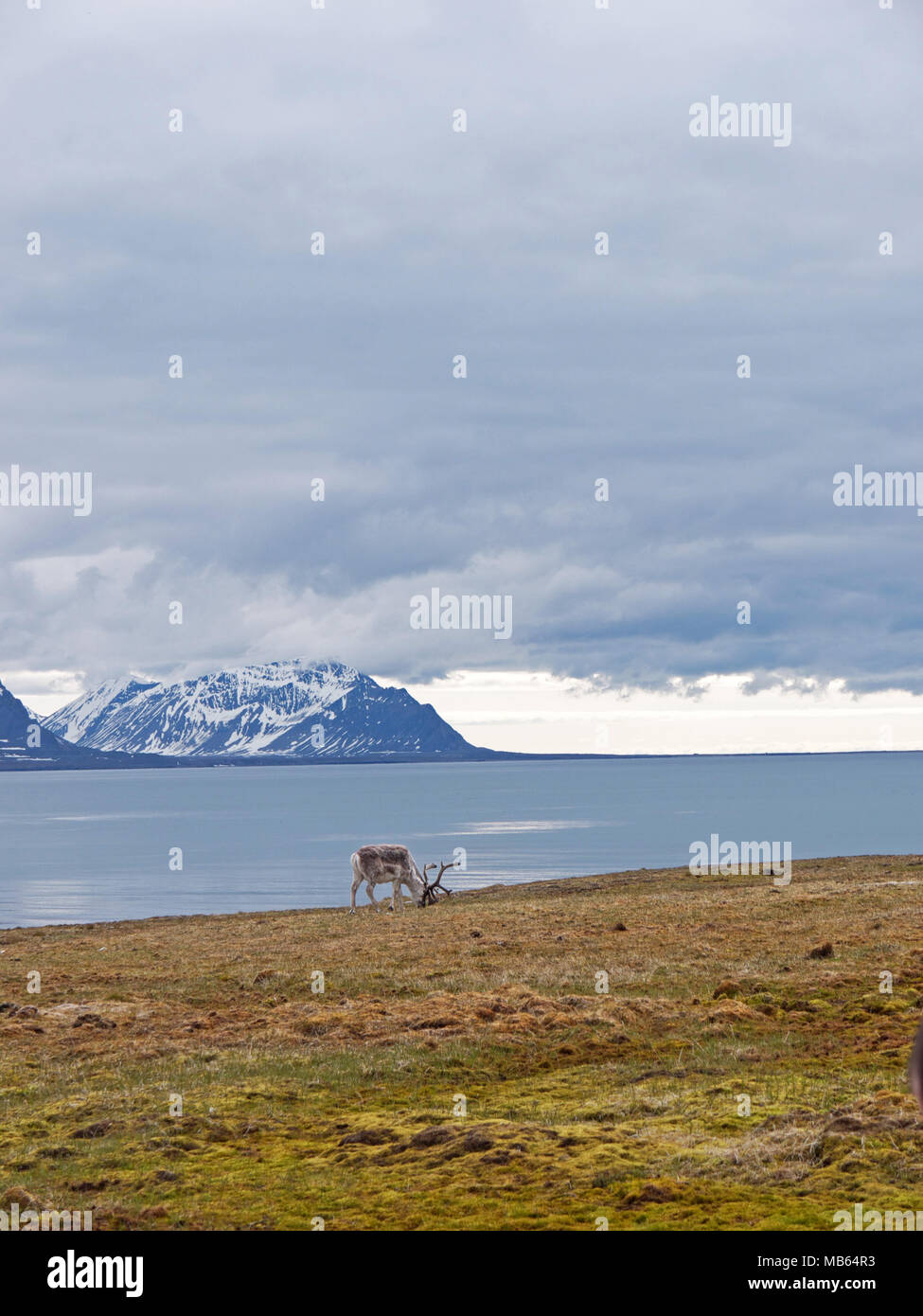 Wild native reindeer on the plateau of Alkhornet, Svalbard, Spitsbergen in the Arctic Circle, part of Norway.  Covered in glaciers and fjords Stock Photo