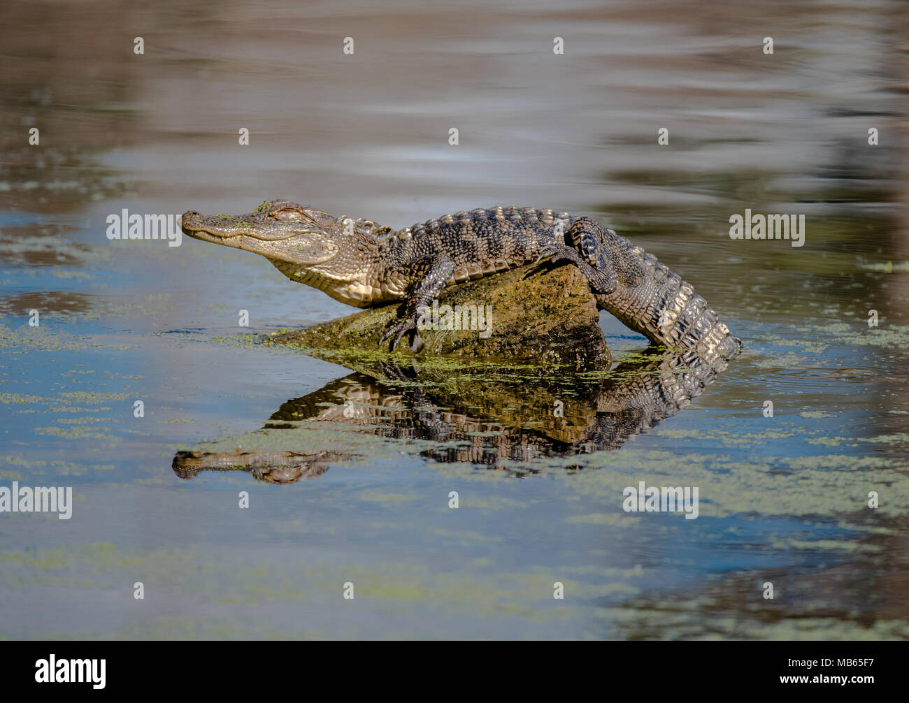 Young Alligator - Stock Image