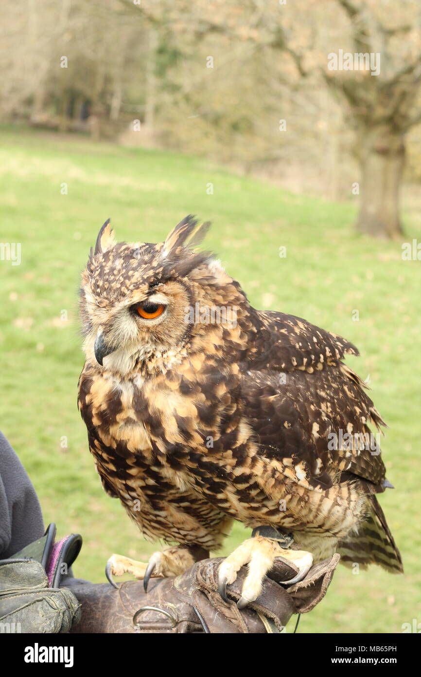 Hand Reared medium sized Long Eared African Owl sitting on handlers gloved hand in the East Sussex countryside. East Sussex. Britain. - Stock Image
